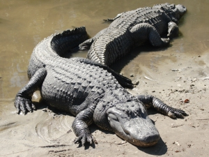 Two American Alligators (Photo/Matthew Field)