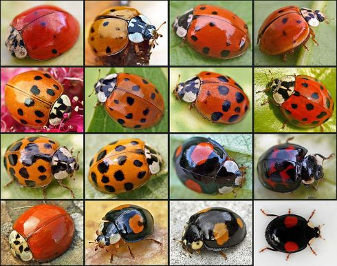 Different types of Harlequin ladybug, a rapidly spreading invasive pest. ©Entomart